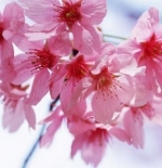 صورة زهور الربيع