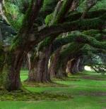 صورة لأشجار كبيرة