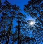 صورة للقمر بين الأشجار