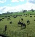 مزارع الخرفان والأبقار