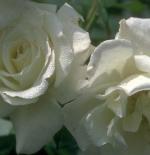 وردة جوري بيضاء