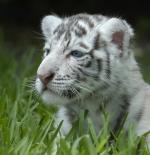 صورة نمر
