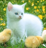 صورة قطة وكتكوت