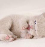 صورة قطة مولوده