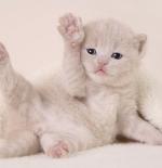 صورة قطة بيضاء