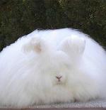 صورة الأرنب الأنجورا