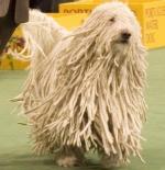 صورة كلب الكومندور الهنغاري
