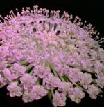 صورة ازهار صغيره بيضاء