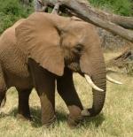 صورة فيل