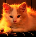 صورة قطة المنزل
