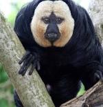 صورة نوع من القرود