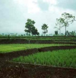 Rice fields near Bandung, June 1988