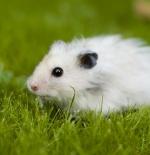 صورة فأر أبيض