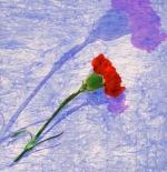 صورة زهرة القرنفل