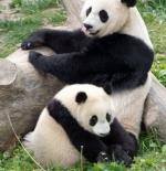 صورة الباندا