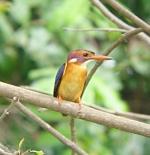 صورة طائر الرفراف الافريقي