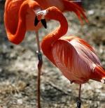 صورة طائر الفلامانكو التشيلي الوردي