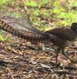 صورة طائر القيثارة