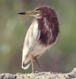 صورة طائر الهيرون