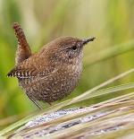 صورة طيور نمنمة الشتاء