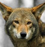صورة الذئب