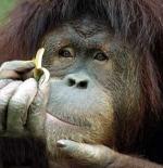 صورة القرد الكبير