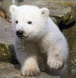 صورة الدب الابيض