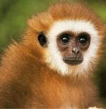 صورة القرد الصغير