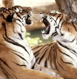 صورة النمور