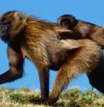 صورة القرود