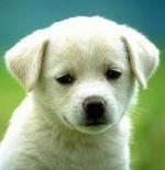 صورة الكلب الصغير