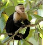 صورة القرد الابيض