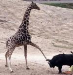 صورة الزرافة والثور