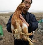 صورة دجاجة بأربع أرجل