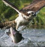 صورة الصقر وصيد السمك