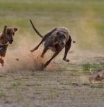 صورة الكلاب وصيد الارنب