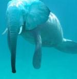 صورة الفيل والسباحة بالبحر