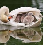 صورة البجعة وصغارها