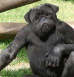 صورة الكلب القرد