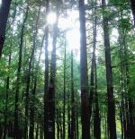 صورة الاشجار الطويلة