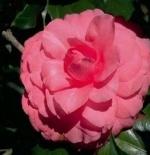 صورة الورده المزدهره