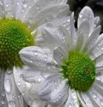 صورة جمال الورد وقطرات الندى