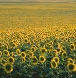 صورة زهرة دوار الشمس