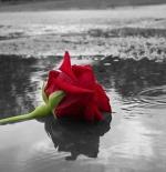 صورة ورد ومطر