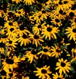 صورة Black Eyed Susan