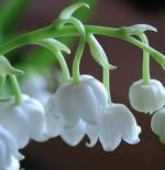 صورة زهرة زنبق الوادي
