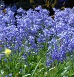 صورة وردة Bluebells