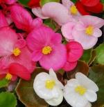 صورة زهرة Begonia semperflorens