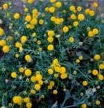 صورة نبات القرقاص