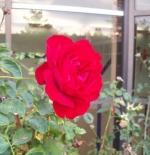 صورة وردة حمراء رائعة جدا